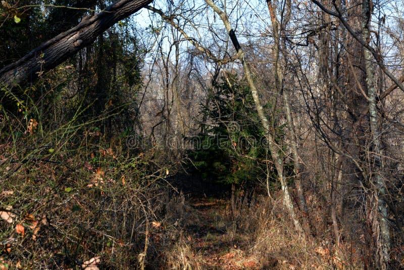Hertensleep in het bos stock foto