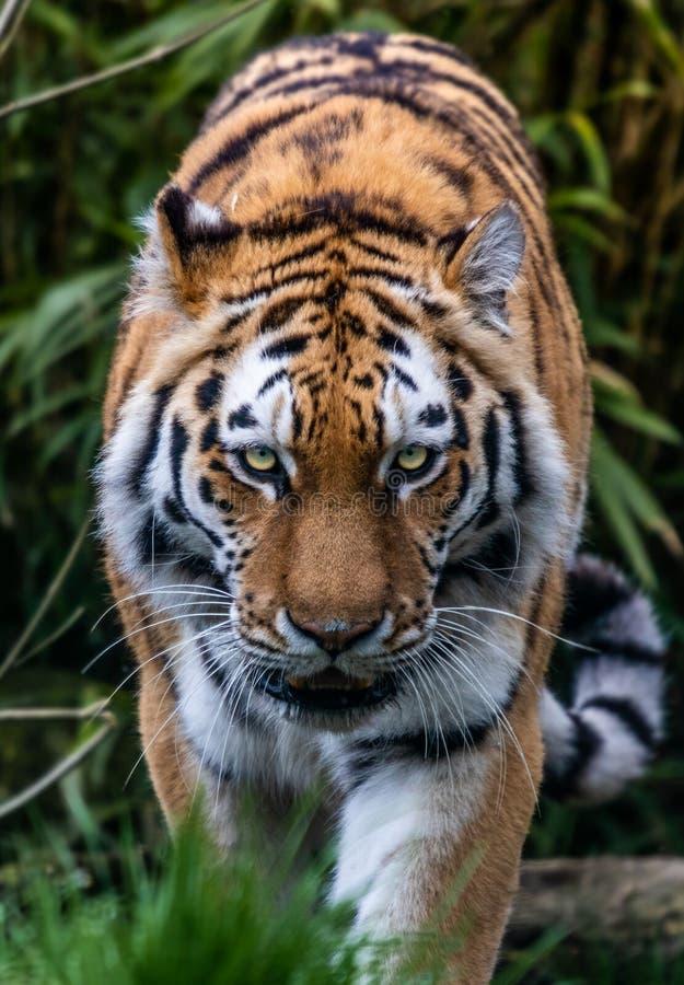 Herumstreichende Tiger ` s Starren stockbilder