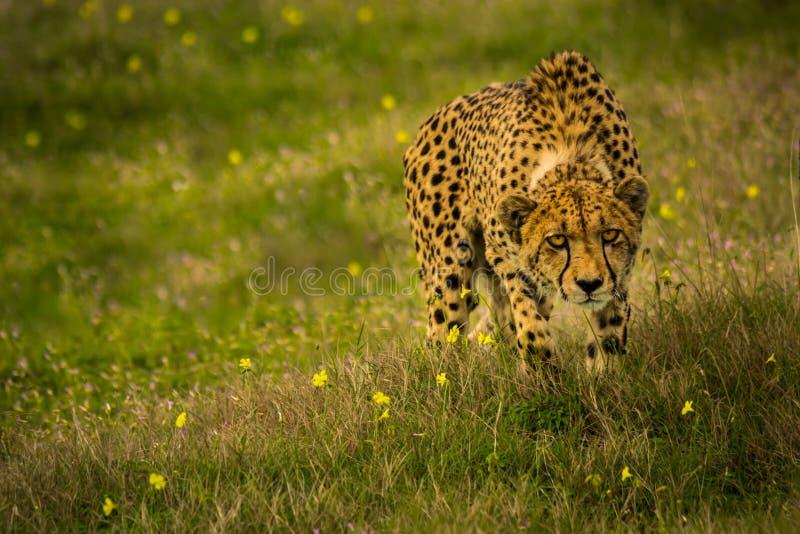 Herumstreichender Gepard lizenzfreie stockfotos