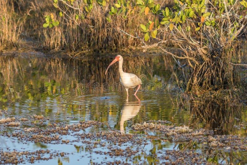 Herumsuchender Schneesichler, Merritt Island National Wildlife Refuge, Florida stockfotos