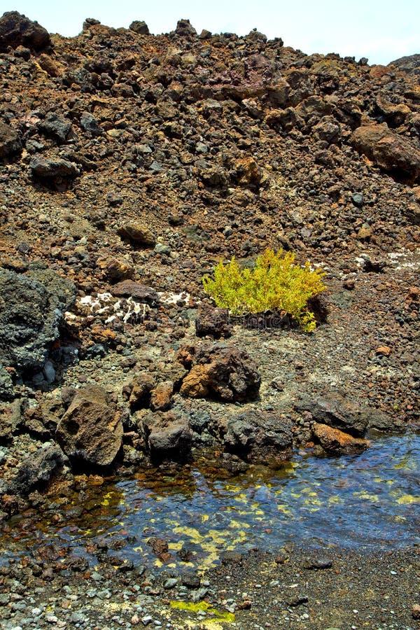 hervideros bruine rots in witte kustinstallatie royalty-vrije stock afbeeldingen