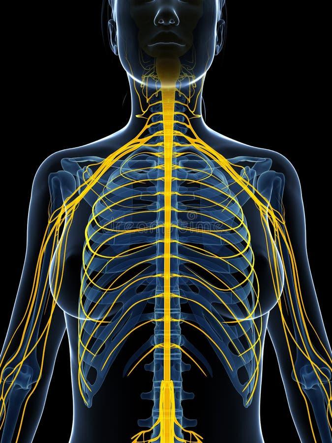 Hervorgehobenes Nervensystem vektor abbildung