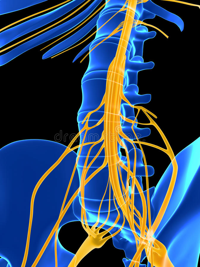 Hervorgehobenes Rückenmark stock abbildung