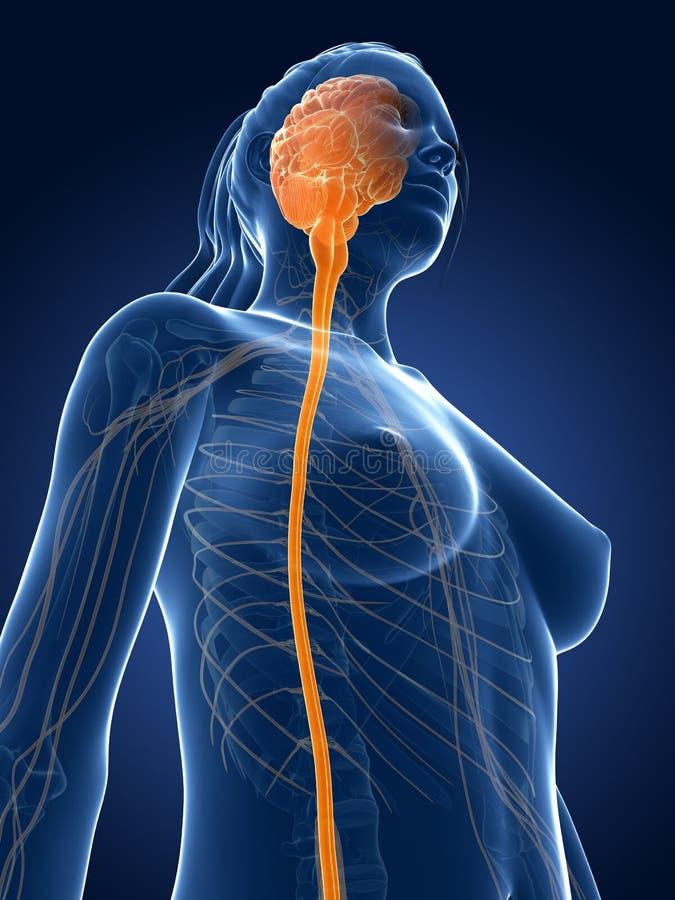 Hervorgehobenes Rückenmark stock abbildung. Illustration von gesund ...