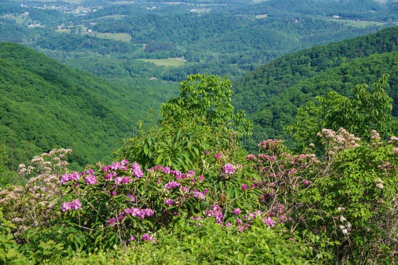 Hervorragende Ansicht des Berglorbeers, des Catawba-Rhododendrons und des Shenandoah Valleys lizenzfreie stockbilder