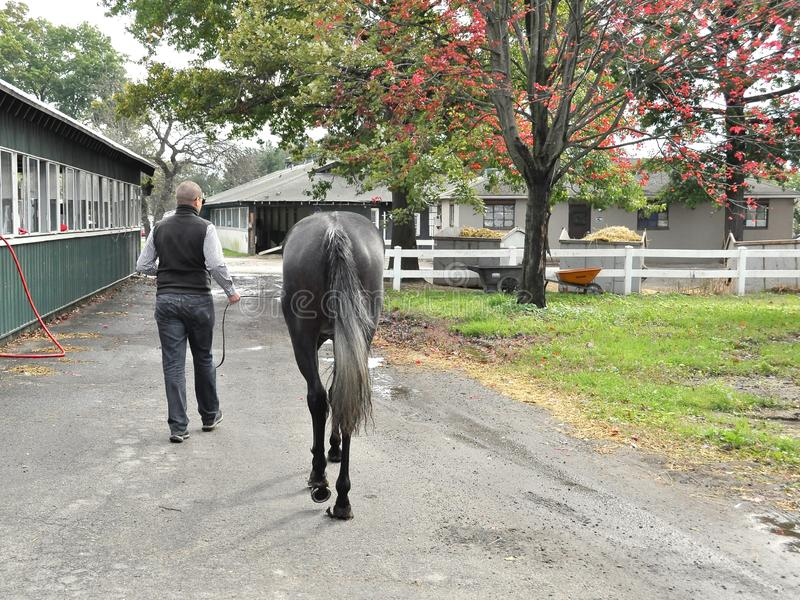 Herwaze by Leading Sire Cross Traffic. Herwaze by Cross Traffic, a gorgeous two year filly walking back to the barn with her trainer. Fleetphoto Fleetphoto royalty free stock photo