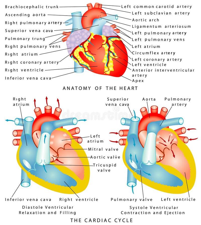 Herz lizenzfreie abbildung