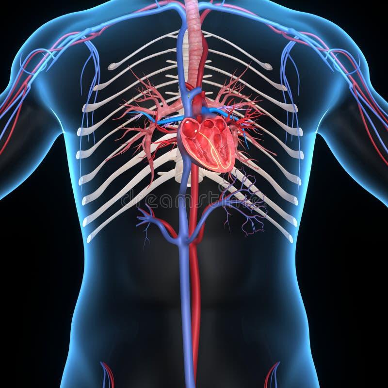 Herz-Abschnitt stock abbildung