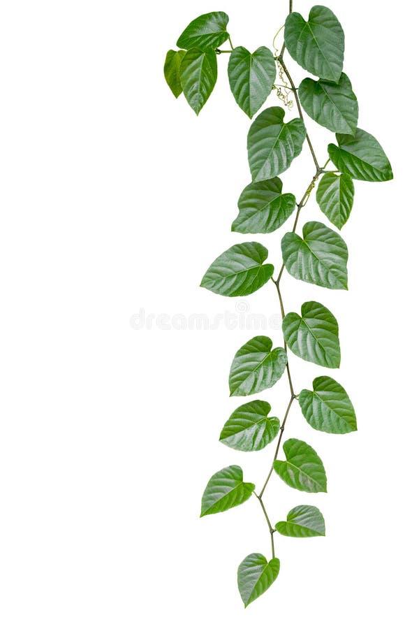 Herz formte die grüne Blattdschungelrebe, die auf weißem backgrou lokalisiert wurde lizenzfreie stockfotografie