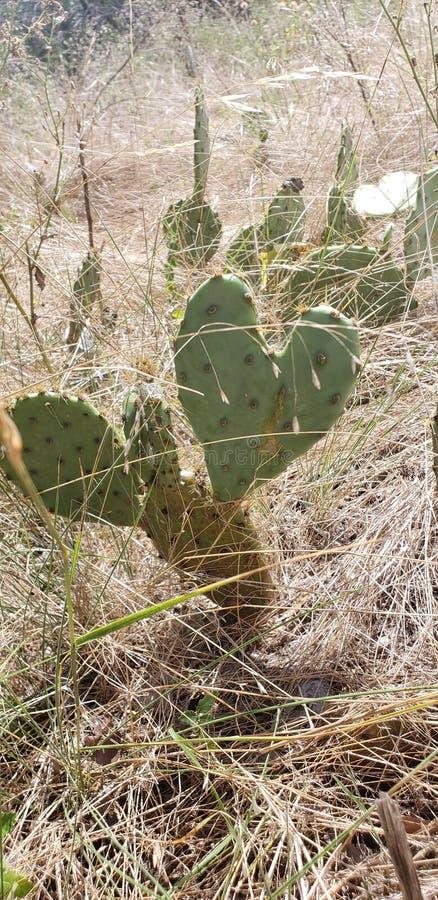 Herz-geformter Kaktus Liberty Hill Texas lizenzfreies stockfoto