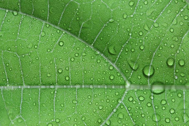 Herz-leaved moonseed Blätter stockfotos