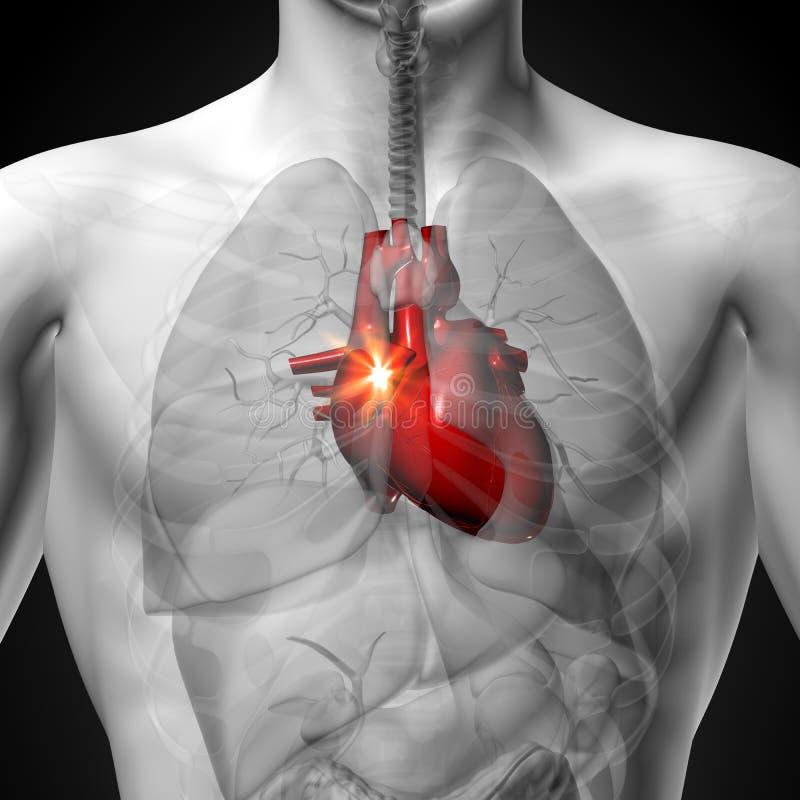 Herz - Männliche Anatomie Von Menschlichen Organen ...