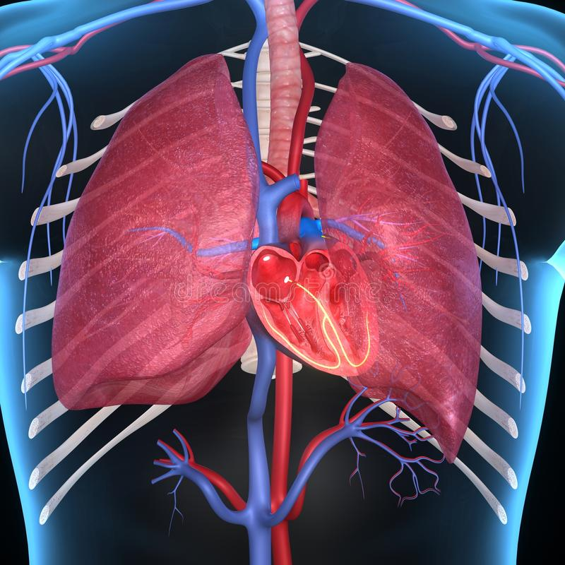 Herz mit den Lungen stock abbildung. Illustration von anatomisch ...