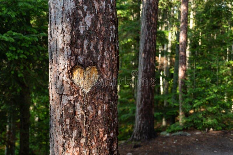 Herz schnitzte in Baum-Stamm im Wald lizenzfreies stockfoto