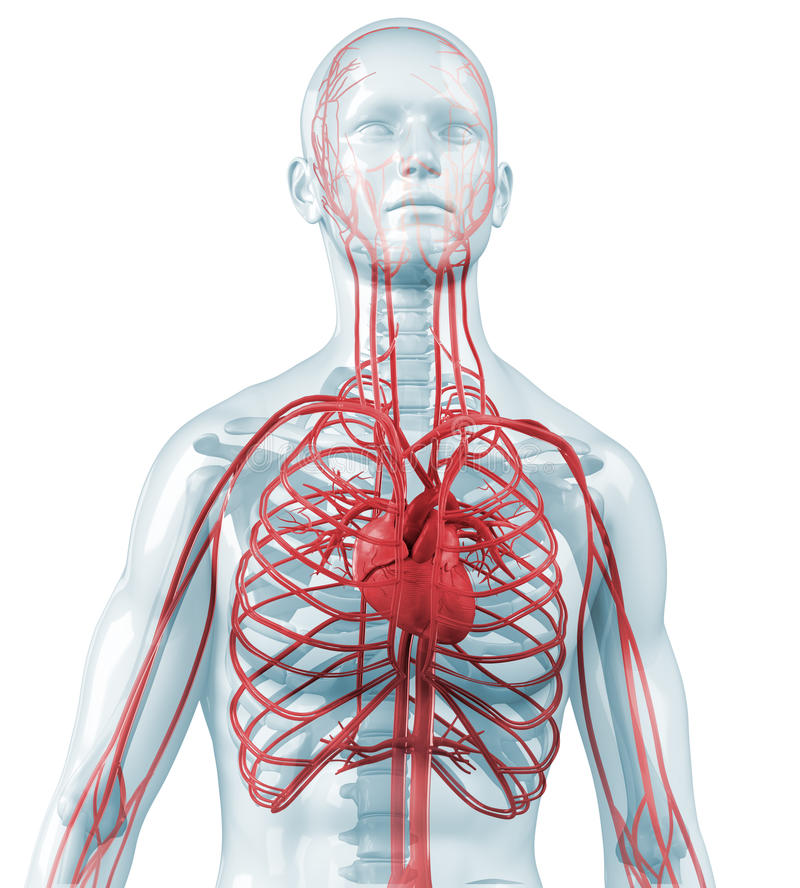 Herz und kardiovaskuläres zirkulierendes lizenzfreie abbildung