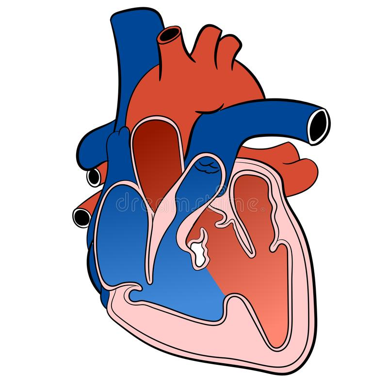 Herz-zirkulierende System-Vektor-Illustration stock abbildung