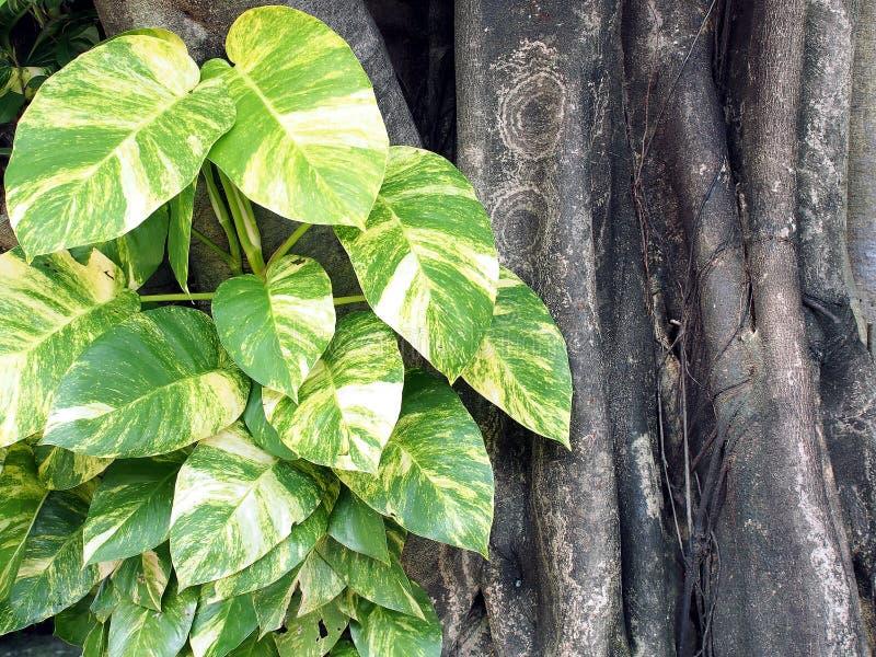 Herzform und weißes gestreiftes des grünen Blattes von devil's Efeu, der auf Baum klettert, Bergsteiger, den Anlagen lässt sind stockfoto