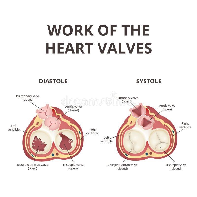 Herzklappeanatomie vektor abbildung. Illustration von obacht - 111931006