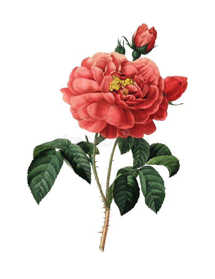 Herzogin von Orleans Rose | Redoute-Blumen-Illustrationen lizenzfreie abbildung