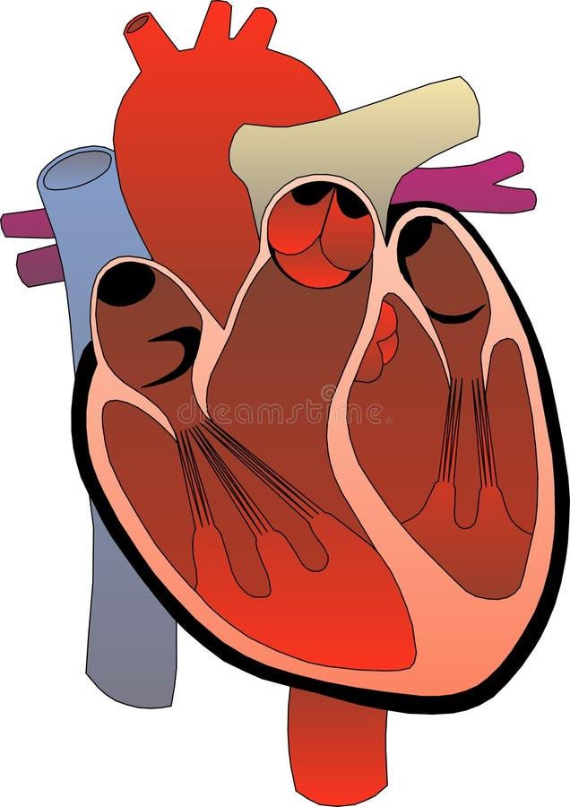Herzsystem stockfoto. Bild von inneres, verdauungsfördernd - 50351332