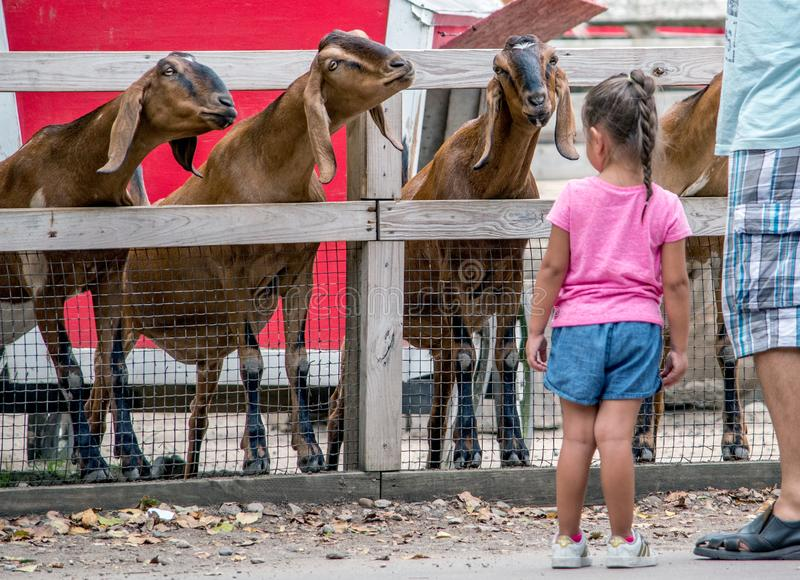 Hesitant little girl and very friendly goats. August 2018 Michigan city Indiana USA; A hesitant little girl and very friendly goats at a local petting zoo are royalty free stock image