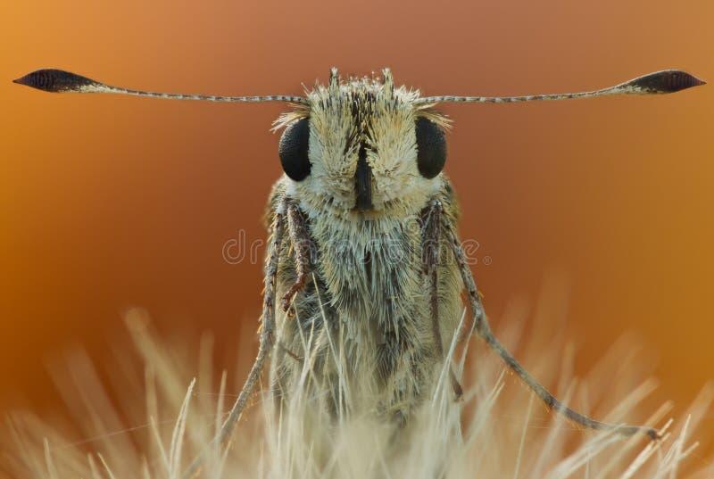 Hesperiidae家庭画象bytterfly接近本质上 蝴蝶秋天画象在大放大的与自然光 免版税库存照片