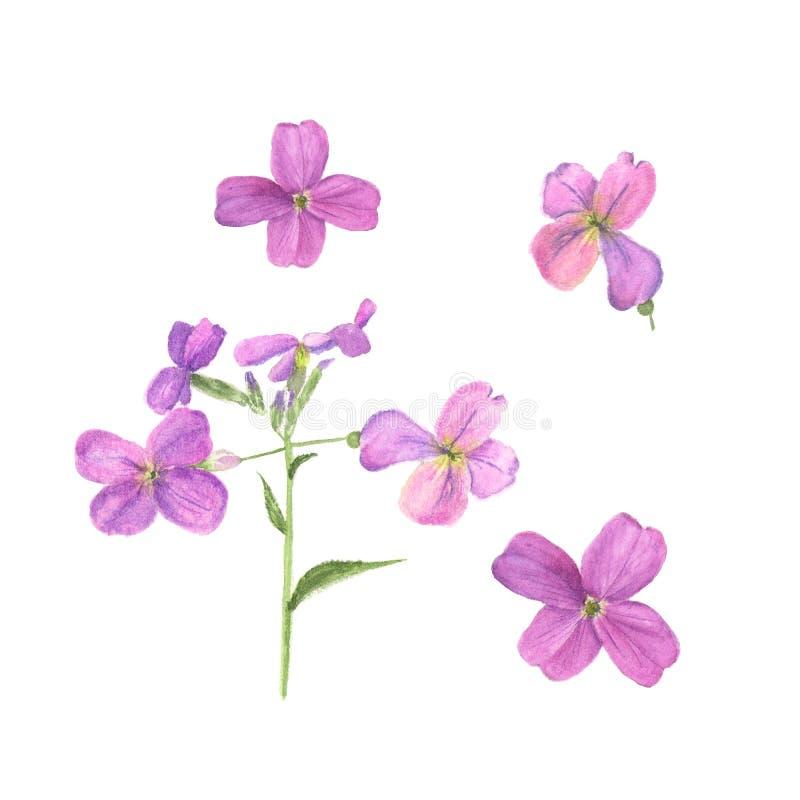 hesperis的植物的水彩例证在白色背景的 向量例证