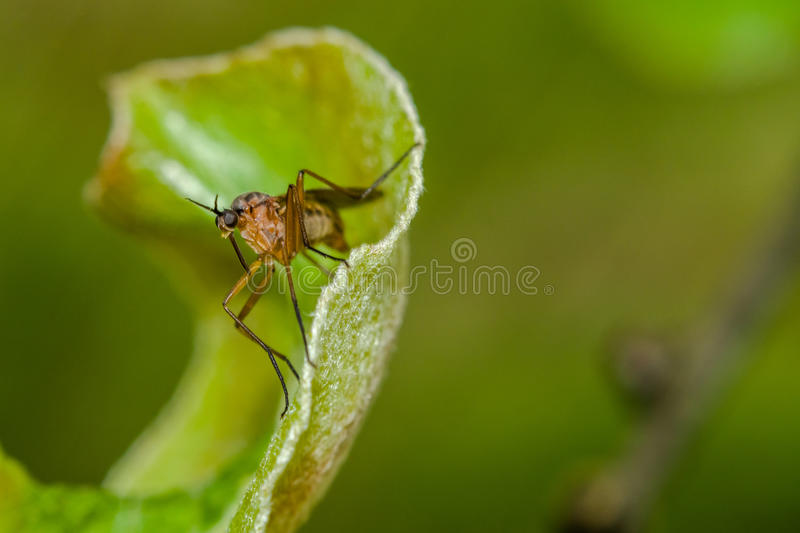 Hessian fly. Macro shot of hessian fly resting on leaf stock image