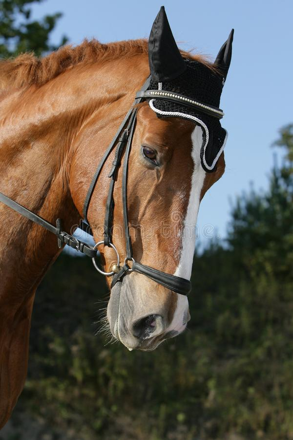 Hessian warmblood horse