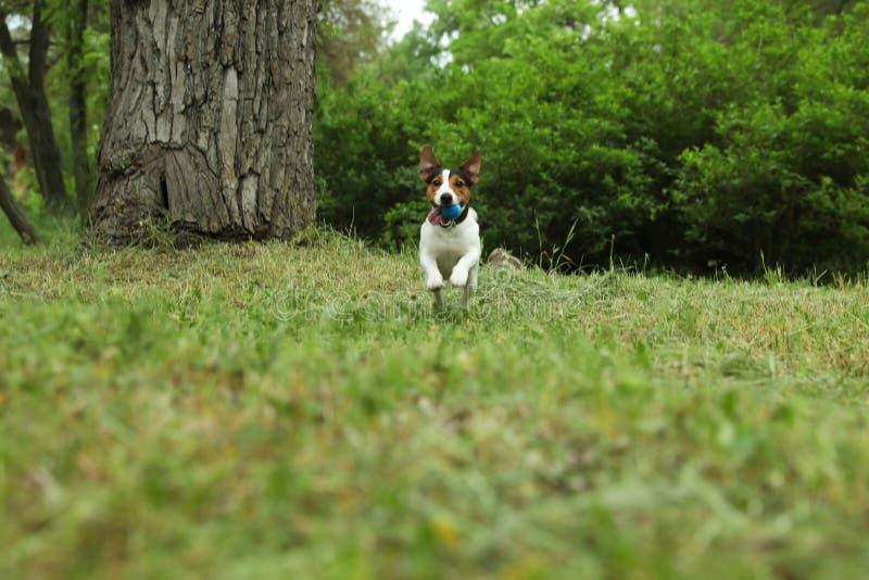Het aanbiddelijke Jack Russell Terrier-spelen met hondstuk speelgoed royalty-vrije stock foto