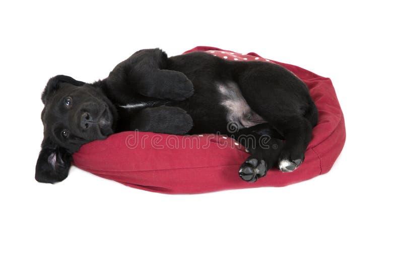 Het aanbiddelijke jonge zwarte puppy die van Labrador het bepalen bedelen royalty-vrije stock fotografie
