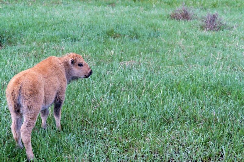 Het aanbiddelijke kalf van de babybizon eet en weidt in het gras royalty-vrije stock foto's