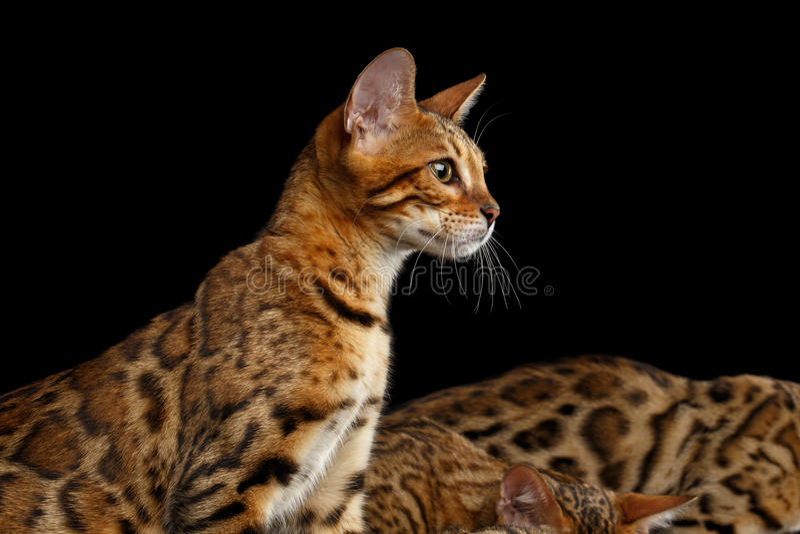Het aanbiddelijke katje van rassenbengalen dat op Zwarte Achtergrond wordt geïsoleerd stock foto