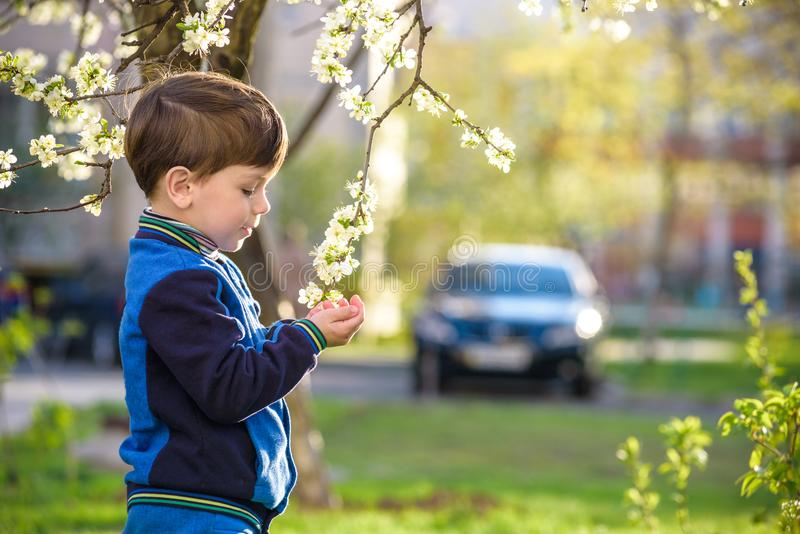 Het aanbiddelijke portret van de jong geitjejongen in bloeiende kersentuin, openlucht lopen kind dat bloemen op bloeiboom onderzo royalty-vrije stock foto