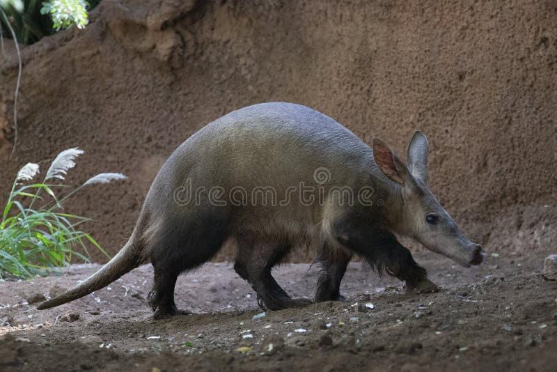 Het aardvarken snuffelt Profiel rond royalty-vrije stock fotografie
