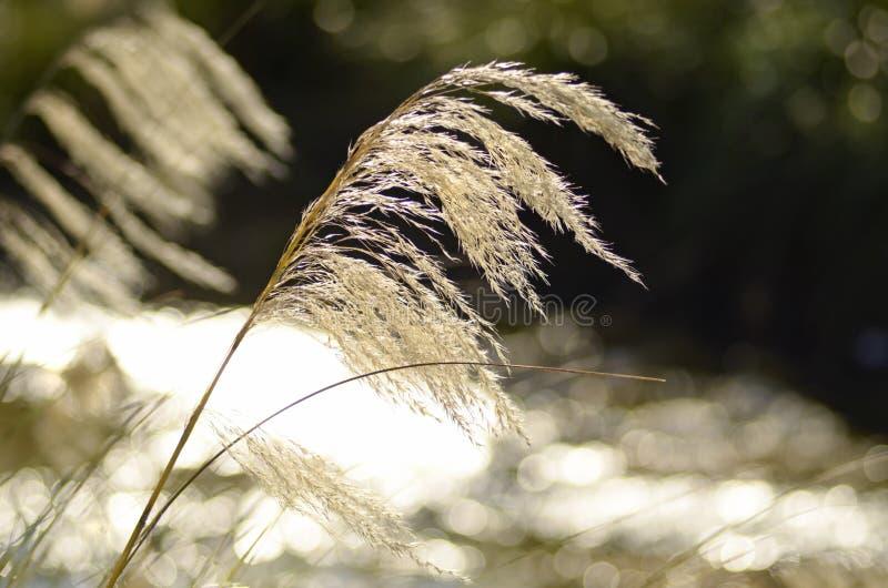 Het abstracte dromerige witte gras Nieuw Zeeland stemmings achtergrond van Toe Toe royalty-vrije stock afbeeldingen