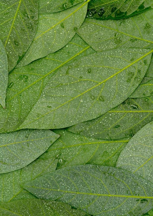 Het achtereind astract achtergrond van avocado groene natte bladeren royalty-vrije stock foto's