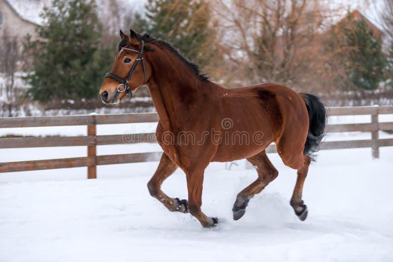 het actieve jonge die paard loopt op een boerderij door een omheining wordt omringd royalty-vrije stock afbeeldingen