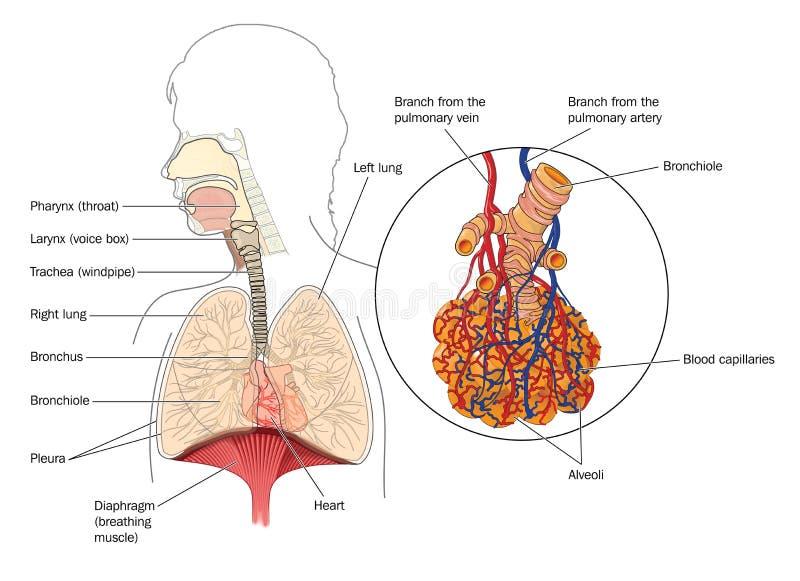 Het ademhalingssysteem royalty-vrije illustratie