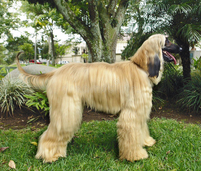 Het Afghaanse hondenhond stellen stock foto