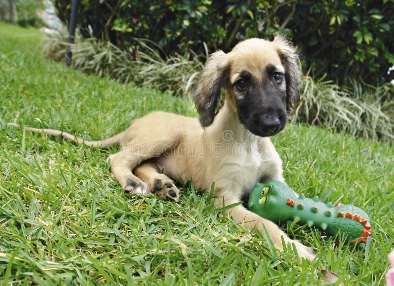 Het Afghaanse stuk speelgoed van het hondenpuppy stock afbeelding