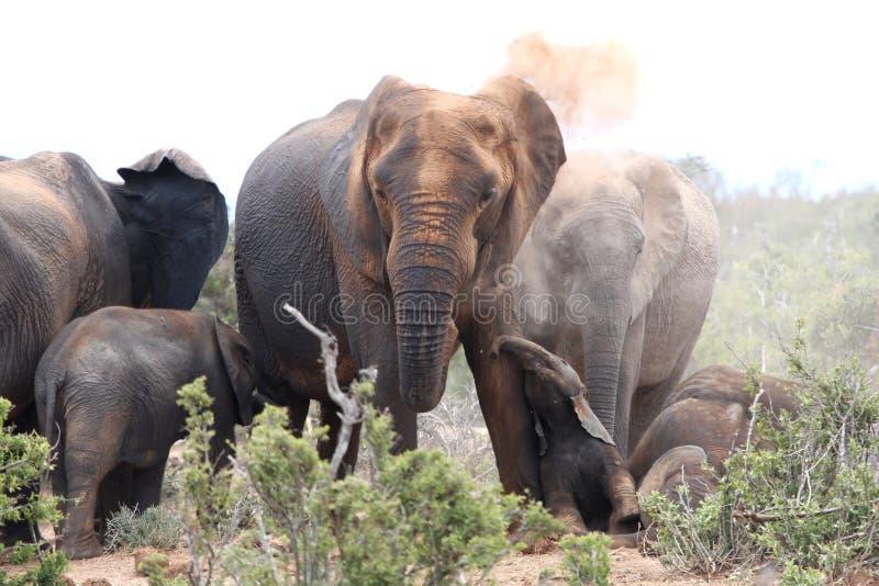Het Afrikaanse Bestrooien van Olifanten royalty-vrije stock foto