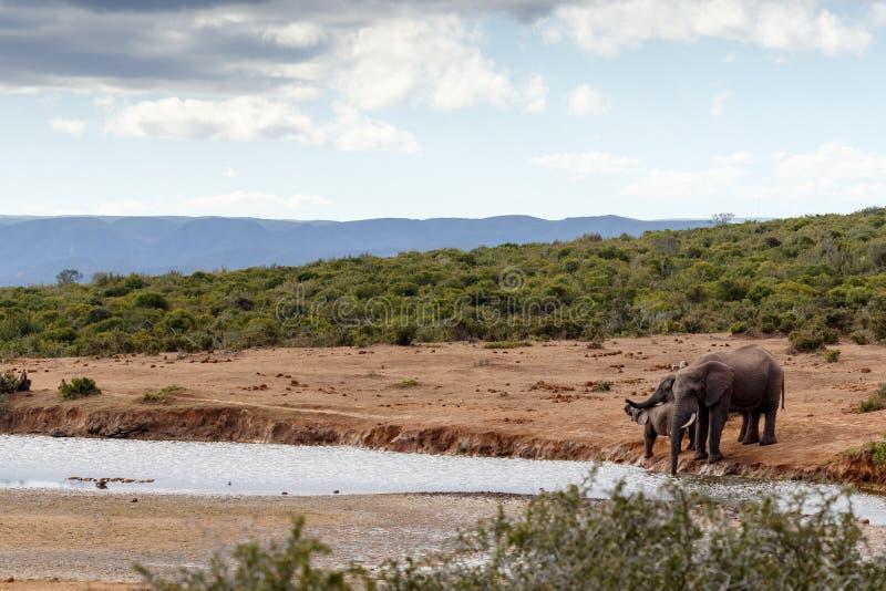 Het Afrikaanse Bush-Olifantsfamilie drinken royalty-vrije stock afbeelding