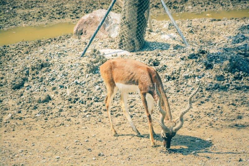 Het Afrikaanse hert eet in de dierentuin royalty-vrije stock afbeelding