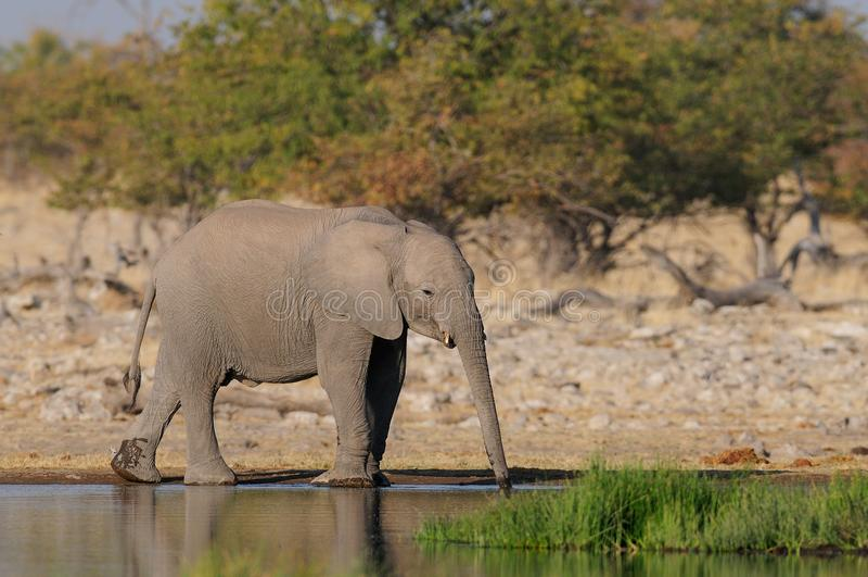 Het Afrikaanse olifant drinken bij waterhole, etosha nationalpark, Namibië stock afbeeldingen