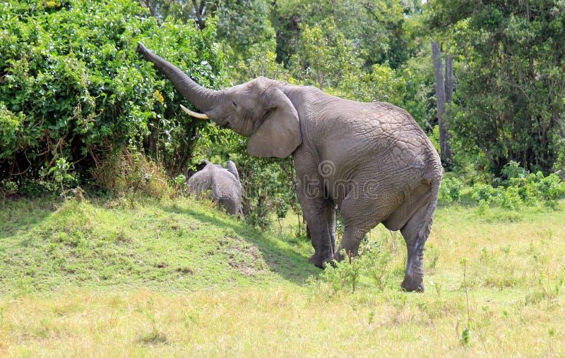 Het Afrikaanse Olifantsboom plukken royalty-vrije stock foto