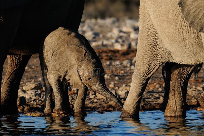 Het Afrikaanse olifantskalf drinkt water, etosha nationalpark, Namibië stock foto