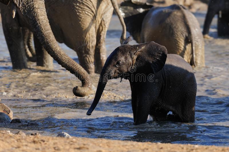 Het Afrikaanse olifantskalf heeft een bad, etosha nationalpark, Namibië royalty-vrije stock fotografie