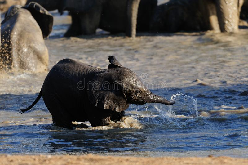 Het Afrikaanse olifantskalf heeft pret in waterhole, etosha nationalpark, Namibië royalty-vrije stock foto