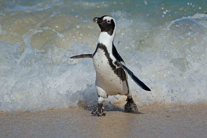 Het Afrikaanse pinguïn lopen royalty-vrije stock afbeelding